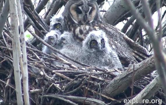 live-cam-owls