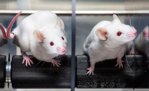 lab-rats-senior-planet